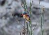 Malachite kingfisher on the Shire riverfront<br /> Liwonde, Malawi