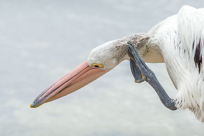 Scratching pelican, South Australia