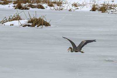 Grey Heron ~ Turnbull Wildlife Refuge, WA