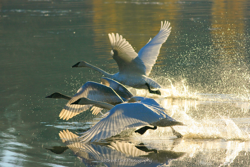 DF.2823 - trumpeter swans, Turnbull National Wildlife Refuge, WA.