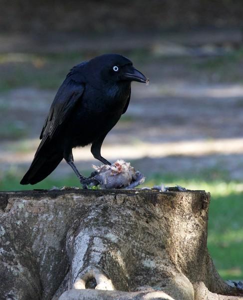 Torresian crow eating noisy miner, Buderim, Australia