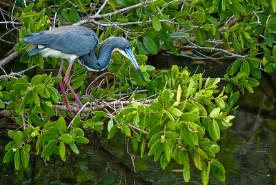 Tri-colored Heron in breeding plumage at Ding Darling National Wildlife Refuge, Sanibel Island, FL