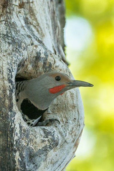 Northern flicker, Colaptes auratus, in a cavity in Pincher Creek, Alberta, Canada.