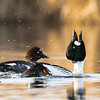 Common goldeneye drake, Bucephala clangula, displayinh in a pond in Lois Hole Centenial Provincial Park, Alberta, Canada.