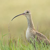 Long-billed curlew, Numenius americanus, foraging near Monarch, Alberta, Canada.