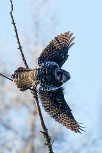 Northern hawk owl, Surnia ulula, in flight near Westlock, Alberta, Canada.