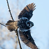 Northern hawk owl, Surnia ulula, in flight near Westlock, Alberta, Canada.