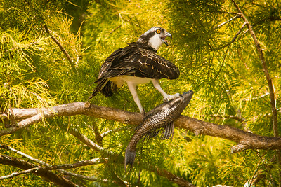 Osprey with a fish-7440