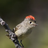 Ruby-crowned kinglet, Regulus alendula, in Beauvais Lake Provincial Park, Alberta, Canada.