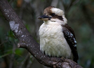 Laughing Kookaburra, Buderim, Australia
