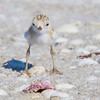 Snowy Plover Chick's First Day