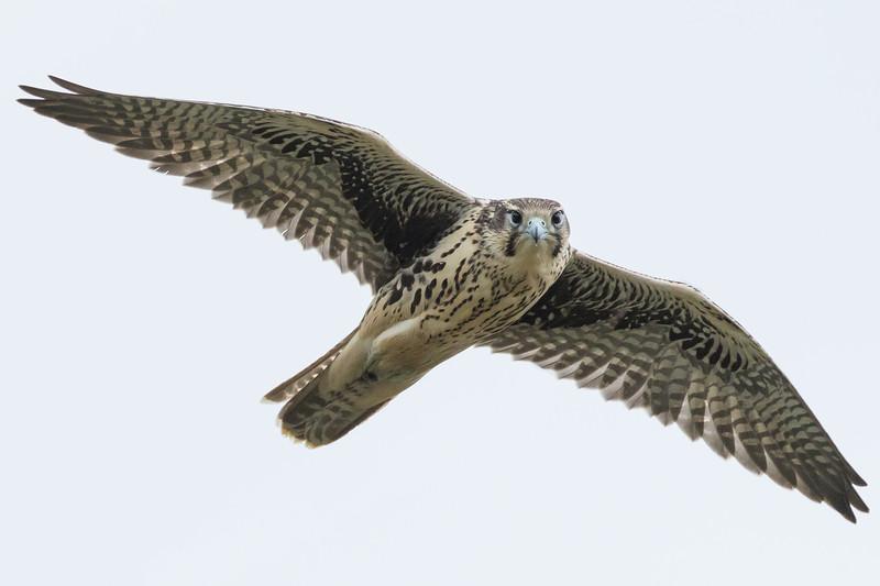 Prairie falcon, Falco mexicanus, perching on a cliff near Pincher Creek, Alberta, Canada.
