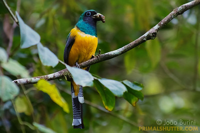 Black throated trogon preying on a caterpillar