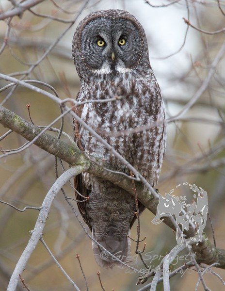 Portrait of a Great Grey Owl