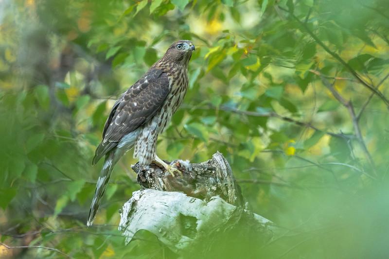 Cooper's hawk, Acipiter cooperi, perched with prey in Edmonton, Alberta, Canada.