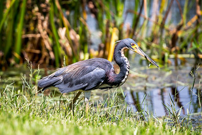 Tricolored Heron 2860