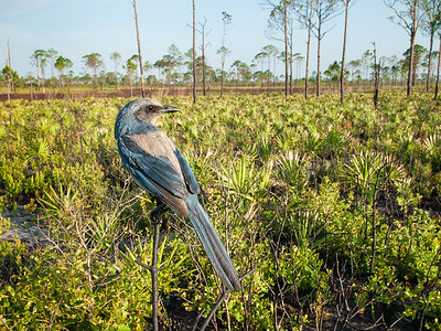 Florida Scrub-Jay overlooking its territory in scrubby flatwoods of the Lake Wales Ridge