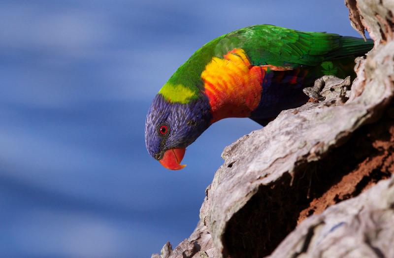 Rainbow lorikeet, Maroochydore, Queensland