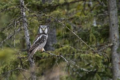 Northern hawk owl, Surnia ulula, near Water Valley, Alberta, Canada.