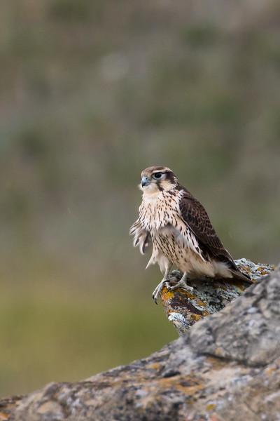 Recently fledged Prairie falcon, Falco mexicanus, perching on a cliff near Pincher Creek, Alberta, Canada.