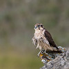 Recently fledged Prairie falcon, Falco mexicanus, perching on a cliff near Pincher Creek, Alberta, Canada.
