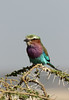 Lilac-breasted roller<br /> Serengeti  NP, Tanzania<br /> <br /> The Lilac-Breasted Roller is one of the most commonly seen birds in sub-Saharan Africa.  Their bright pastel colors make them popular with photographers.