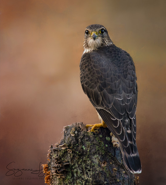 Merlin at Huntley Meadows