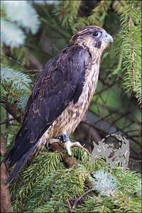 Fledging Peregrine Falcon
