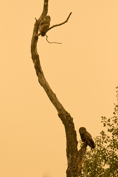 Fledgling and adult Great grey owls, Strix nebulosa, on a snag in dense wildfire smoke.