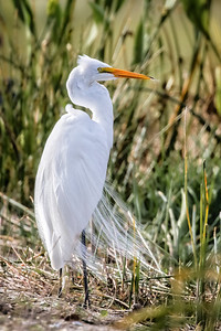 Great Egret 0715