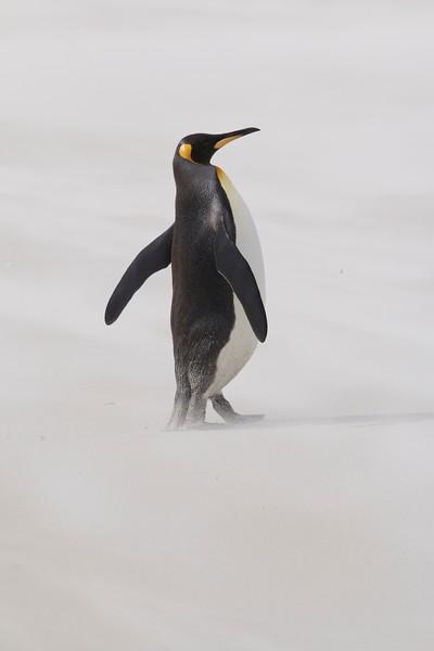 King penguin, Volunteer Point, Falkland islands