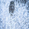 Great grey owl, Strix nebulosa, near Drayton Valley, Alberta, Canada.