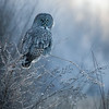 Great grey owl, Strix nebulosa, near Westlock, Alberta, Canada.