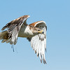 Ferruginous hawk, Buteo regalis, in flight near Medicine Hat, Alberta, Canada.
