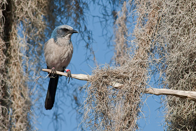 Florida Scrub-Jay perched in an oak with Spanish Moss. This is a banded bird and part of the long-term demographic study of this species at Archbold Biological Station in Lake Placid, Florida