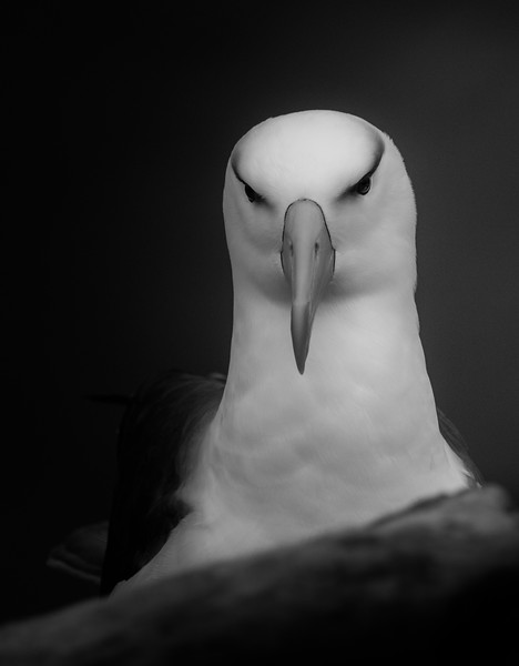 Black-browed albatross, Saunders Island, Falklands