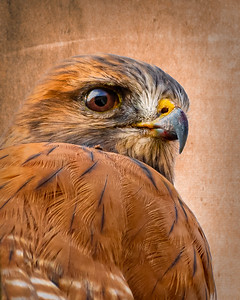 Red Shouldered Hawk closeup