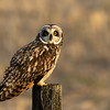 Short-eared owl, Asio flammeus, on a fencepost near Pakowki Lake, Alberta, Canada.