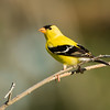 American goldfinch, Spinus tristis, perching in Medicine Hat, Alberta, Canada.