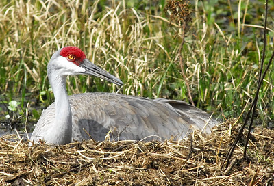 Florida Sandhill Crane on nest