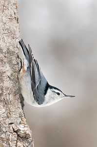 White-breasted nuthatch, Sitta carolinensis, near Westlock, Alberta, Canada.