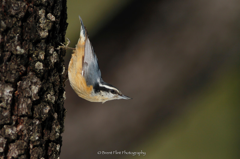 DF.4519 - red-breasted nuthatch, Bonner County, ID.