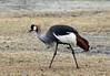 Crested crane<br /> Ngorongoro Crater, Tanzania