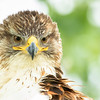Ferruginous hawk, Buteo regalis, close-up near Medicine Hat, Alberta, Canada.