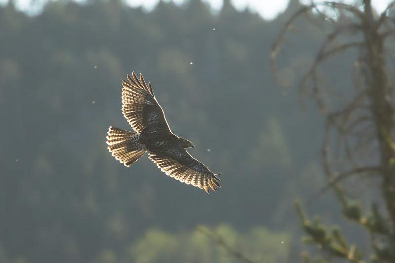 Red-tailed hawk, Buteo jamaicensis, soaring near Beaver Mines, Alberta, Canada