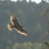 Red-tailed hawk, Buteo jamaicensis, soaring near Beaver Mines, Alberta, Canada