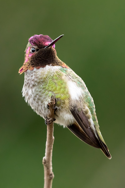 Anna's hummingbird, Calypte anna, on a perch in Delta, British Columbia, Canada.