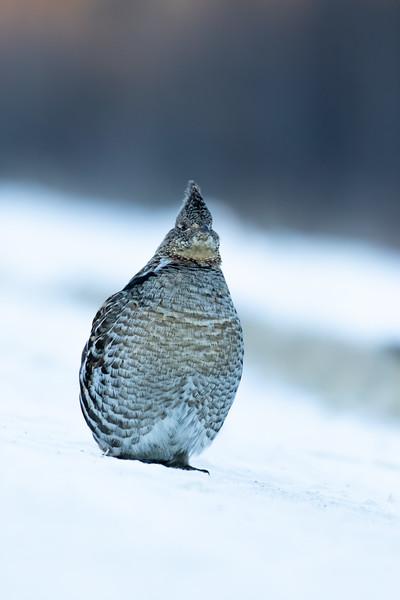 Ruffed grouse, Bonasa umbellus, crossing a road near Westlock, Alberta, Canada.