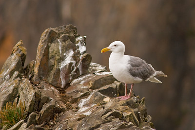 Western Gull on the Oregon coast just north of Cape Falcon