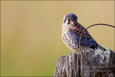 Kestrel searching for lunch